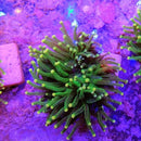 WYSIWYG Euphyllia glabrescens Toxic Green Yellow Tips 03