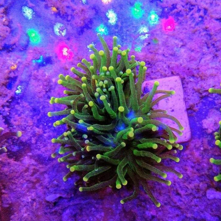 WYSIWYG Euphyllia glabrescens Toxic Green Yellow Tips 02