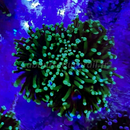 WYSIWYG Euphyllia glabrescens Purple Green Tips  2 Têtes