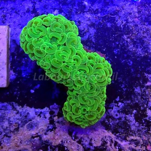 WYSIWYG Darwin Toxic Green/Yellow With Fluorescent Green Stem