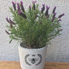 Potted Fragrant Lavender - Limelight Floral Design