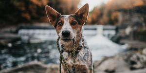 Blue Heeler with Native Collar Lead in his mouth in front of an autumn scenery