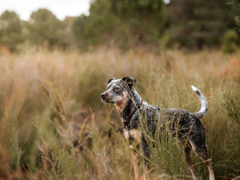 Blue Heeler standing in nature at sunset