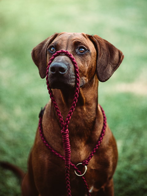 Ridgeback girl sitting with Native Collar Slip lead around her neck and on her snout