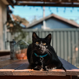 Black Cat sitting on a table outdoors and wearing Teal Paracord Cat Collar by Native Collars (5181971759244)