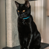 Black Cat with orange eyes wearing a Paracord Cat Collar in Teal (5181971759244)