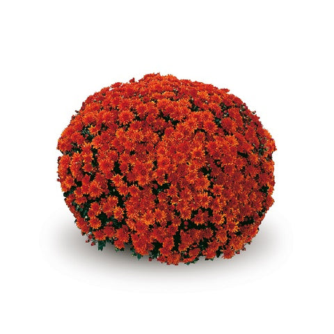 CONACO ORANGE GARDEN MUMS