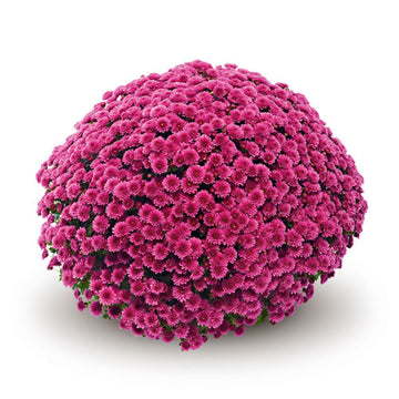 JASODA PURPLE GARDEN MUMS