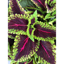 Load image into Gallery viewer, Coleus - Main Street