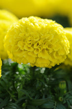 Load image into Gallery viewer, Marigold 12-16""