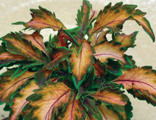 Load image into Gallery viewer, Coleus - Beauty of Lyon