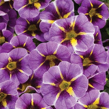Load image into Gallery viewer, Calibrachoa - Proven Winner Superbells