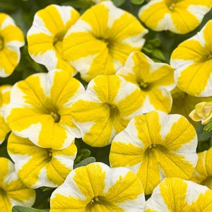 Calibrachoa - Proven Winner Superbells