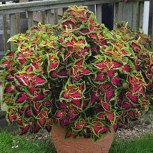 Load image into Gallery viewer, Coleus - Heartbreaker