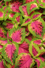 Load image into Gallery viewer, Premium Sun Coleus