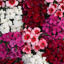 Load image into Gallery viewer, Dianthus