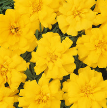 Load image into Gallery viewer, Marigold  10-12""