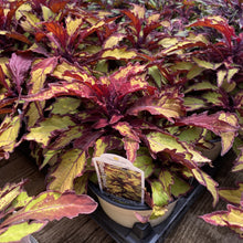 Load image into Gallery viewer, Coleus - Flame Thrower