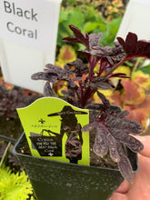 Load image into Gallery viewer, Coleus - Hort Couture® Under the Sea
