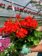"Load image into Gallery viewer, Geranium - 10"" Hanging Basket  Americana-Zonal"