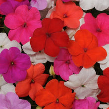 Load image into Gallery viewer, Impatiens - DAZZLER