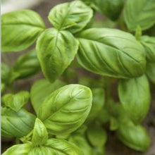 Load image into Gallery viewer, Sweet Basil