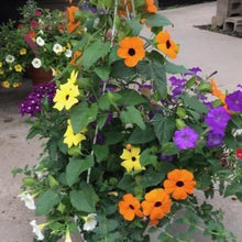 Load image into Gallery viewer, Black eyed Susan Vine - Hanging Basket - Sunny Thunbergia