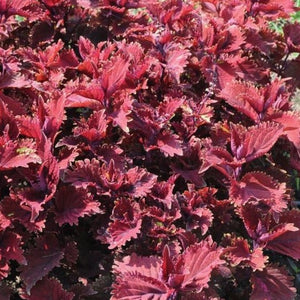Coleus - Hort Couture® Under the Sea