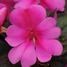 Load image into Gallery viewer, Impatiens - Bounce