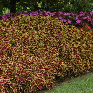 Coleus - Flame Thrower