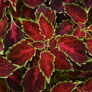 Coleus - Ruby Punch