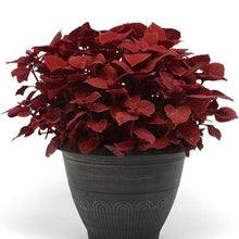 Load image into Gallery viewer, Coleus - Ruby Slipper