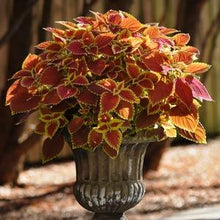 Load image into Gallery viewer, Coleus - Trusty Rusty