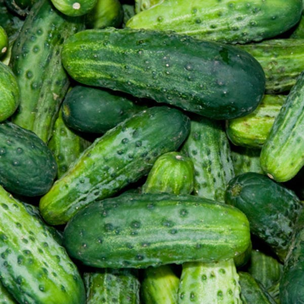 Cucumber - Bush Pickle