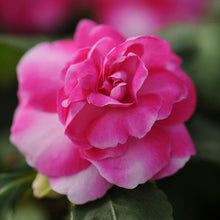 Load image into Gallery viewer, Double Impatiens - Fiesta