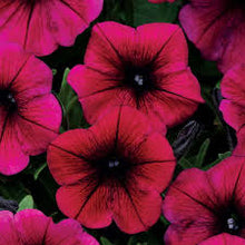 Load image into Gallery viewer, Wave Petunia