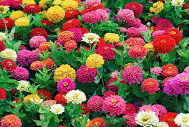 Dreamland Mix - Zinnia