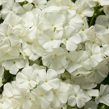 Load image into Gallery viewer, Phlox - Proven Winner