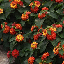 Load image into Gallery viewer, Lantana - Bloomify