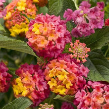Load image into Gallery viewer, Lantana - Proven Winner Luscious