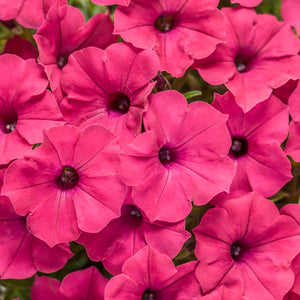 Petunia -Proven Winner Supertunia