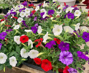 Wave Petunia Red, White, Blue Mix