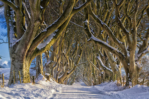 Dark Hedges, Winter - The King's Road