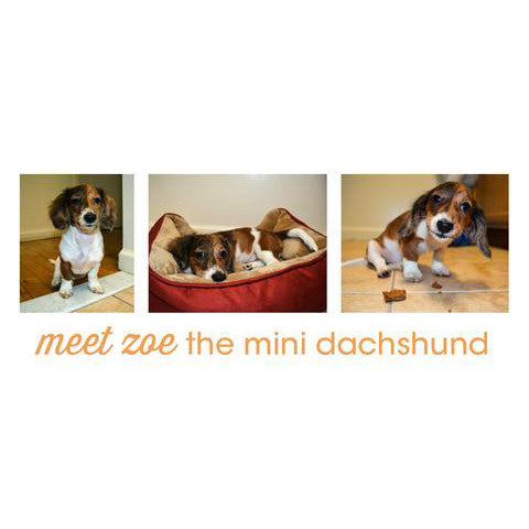 meet zoe the miniature dachshund