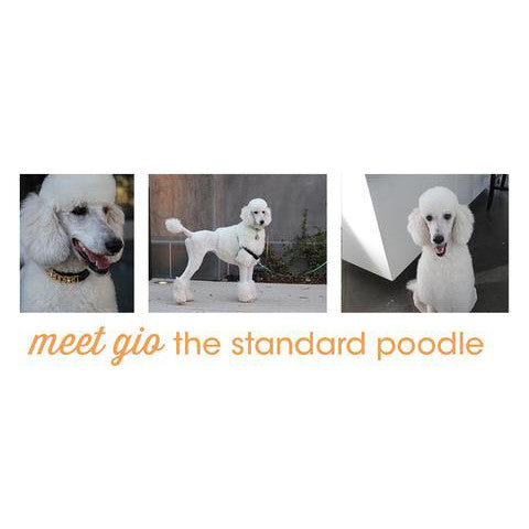 meet gio the standard poodle