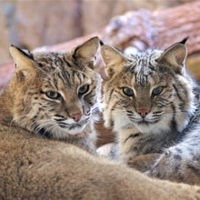 Load image into Gallery viewer, Adopt a Bobcat