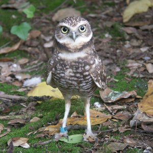 Adopt a Burrowing Owl