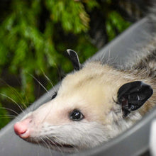 Load image into Gallery viewer, Adopt a Virginia Opossum