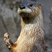 Load image into Gallery viewer, Adopt a North American River Otter