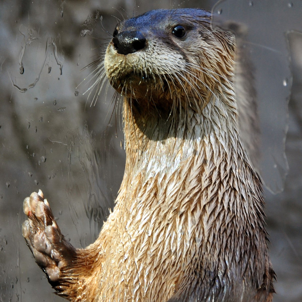 Adopt a North American River Otter